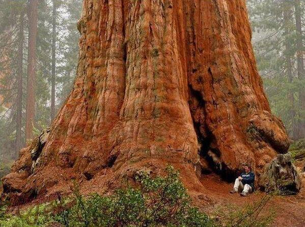 General Sherman Tree. The largest in the world