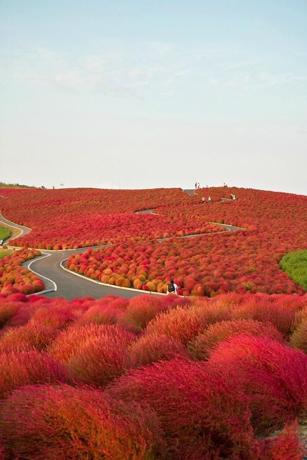 Kochia-Hill-Hitachinaka-City-Japan-iltwmt