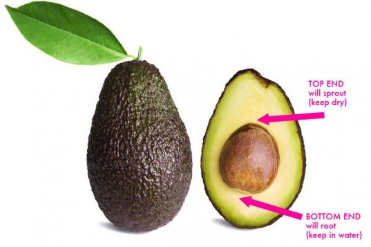 A Genius Way How To Grow Your Own Avocado Tree