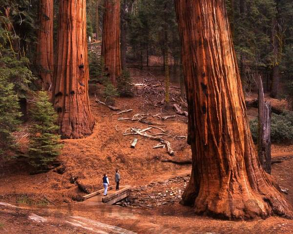 Perspective, The Redwoods, California