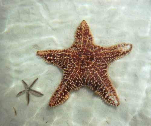 big starfish